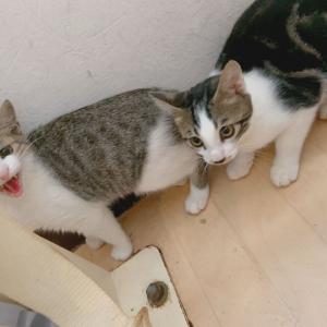 シャーシャーの新猫