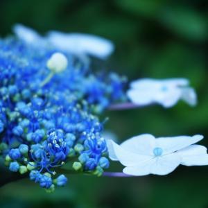 紫陽花の季節