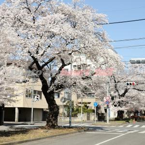 新川桜並木通り