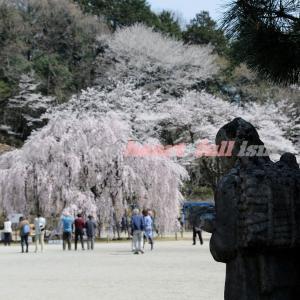 二宮金次郎と桜