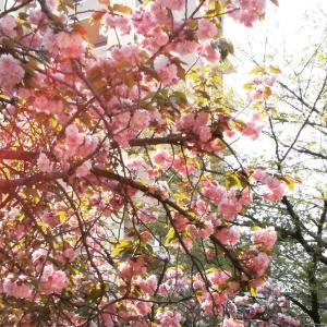 まだ咲いている桜