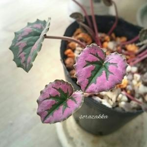 お目覚めの色はピンクの葉っぱで