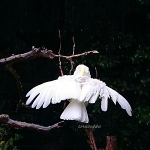 雨の中 翼を広げる白いオウム達
