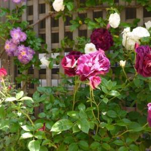 バラの花の色