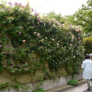 野バラの花園