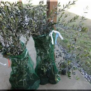 オリーブの植え付け