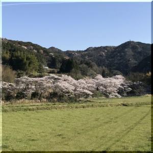 安岐ダムの桜
