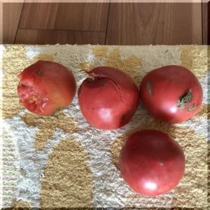 トマトの追加鳥対策
