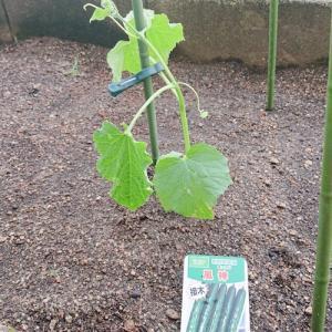 夏野菜 植え付け