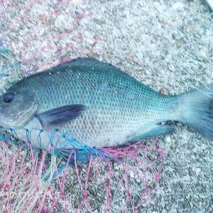 グレとサヨリが釣れました!@大蔵海岸
