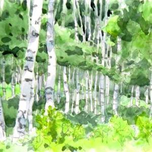 白樺自然林
