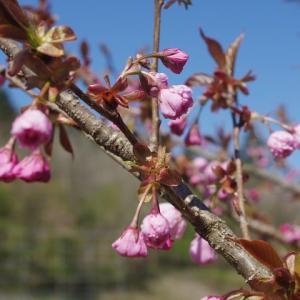 私が植えた八重桜・・・咲きましたわん