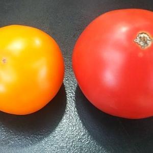 トマトと柿じゃねえーよ美味しい黄色いトマトだよ・・・ワン