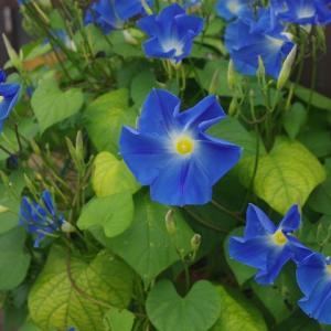 ドーム仕立てのヘブンリーブルー・・・お花みごろです・・・ワン