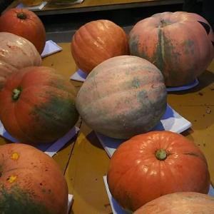 アトランティックジャイアントのかぼちゃたくさん・・・すごいわ