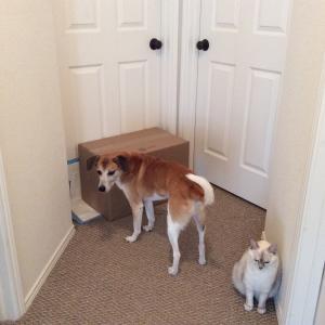 猫の甲状腺機能亢進症 (ギズモ)、その8。放射線治療後の自宅隔離生活。