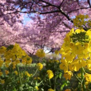 【丹沢】松田山~高松山 満開の河津桜と菜の花 春を感じる登山