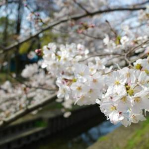 【お花見】善福寺川 見頃を迎えた桜並木