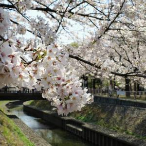 【都内の桜】杉並・善福寺川緑地 満開の桜並木