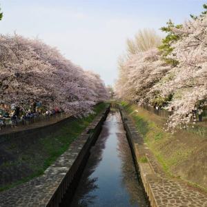 【東京杉並区】善福寺川緑地公園の桜 お花見散歩