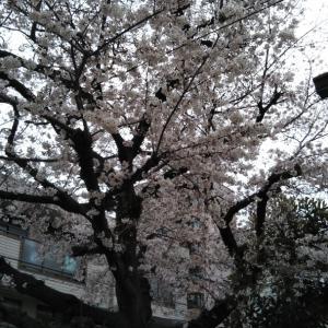 幼稚園の桜の木