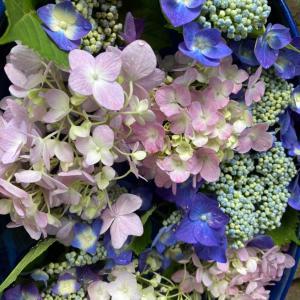 月次祭 紫陽花