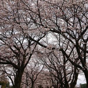 [近況]今年も桜が咲きました