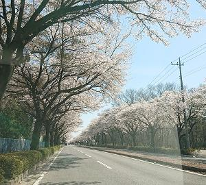 [近況]今年も桜が咲きましたその2