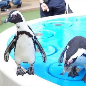 ペンギンまつり~だってペンギン大好きだし