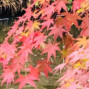 北鎌倉の紅葉は円覚寺と明月院