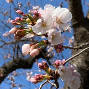 大丈夫、来年も桜は咲きます