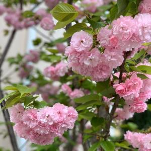 我が家のド根性八重桜
