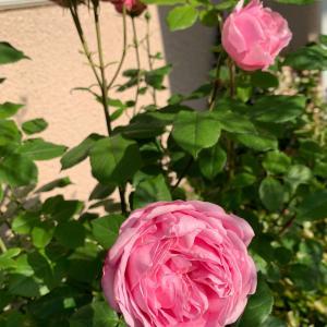 お庭便り~いろんなバラ