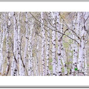 白樺の屏風絵
