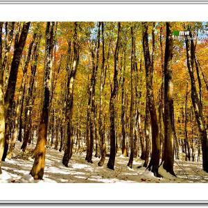 冬支度の美人林