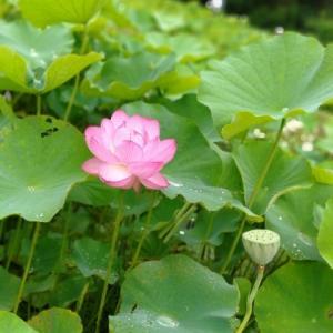 雨の中の、蓮の花