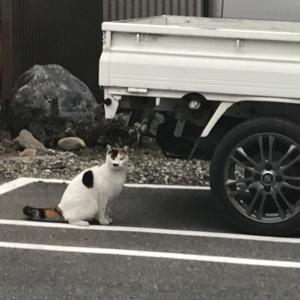 軽トラを舐める猫
