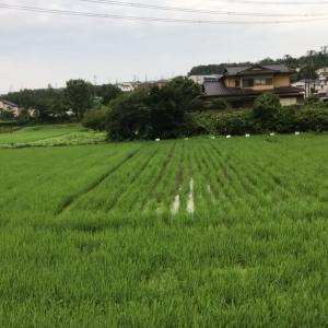 田んぼの稲と大豆