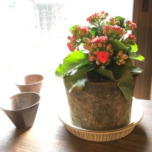 カランコエの鉢植え