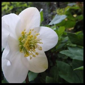 遅咲きのクリロ