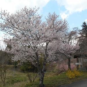 群馬県高山村 桜が咲き始めました