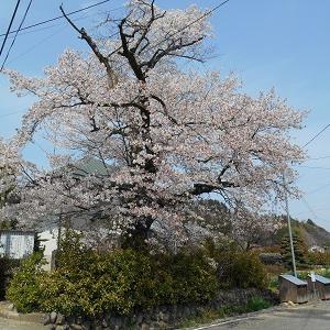 群馬県高山村 桜があちらこちらで満開となっています