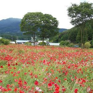 群馬県高山村 ポピーの花が一面に咲いています