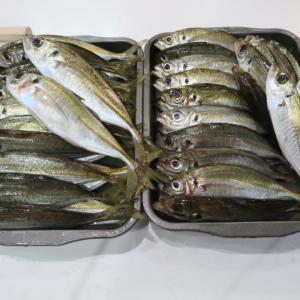 夢が叶った!自釣り鯵で贅沢絶品鯵料理♪