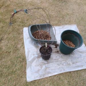 剪定→土作り→鉢増し植え替え→誘引