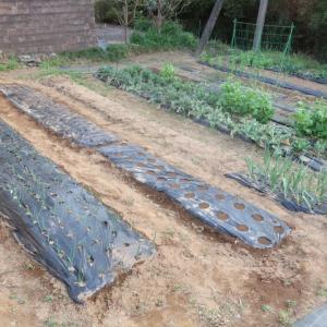 初めての一人菜園作業とニョキニョキ♪