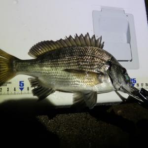 初めて釣った黒鯛。初めて鯛を捌く!