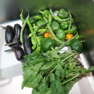 黒枝豆の収穫♪一人菜園活動で腕パンパン