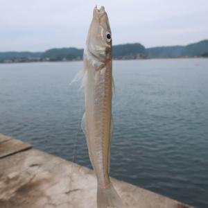 良型多数!久々にシロギス釣りを楽しめた