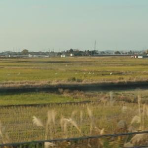 新潟で白鳥を見た!